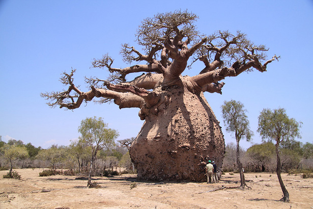 What should you know when building a holiday house - What You Should Know About The Baobab A Tree Of