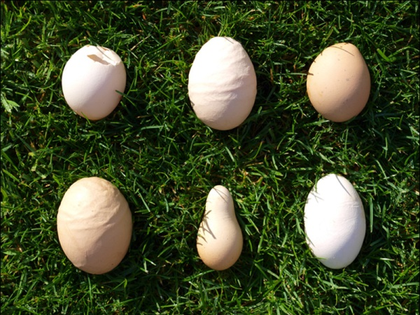 abnormal eggs, abnormal Chicken eggs