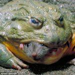 African Frog, World's Biggest Frog