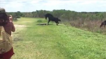 Violent Horse Attacking Alligator At National Park In Florida